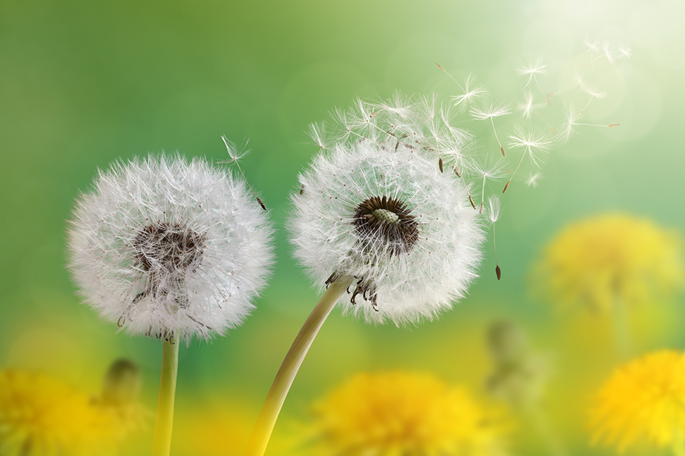 Dandelion seeds blowing in the breeze