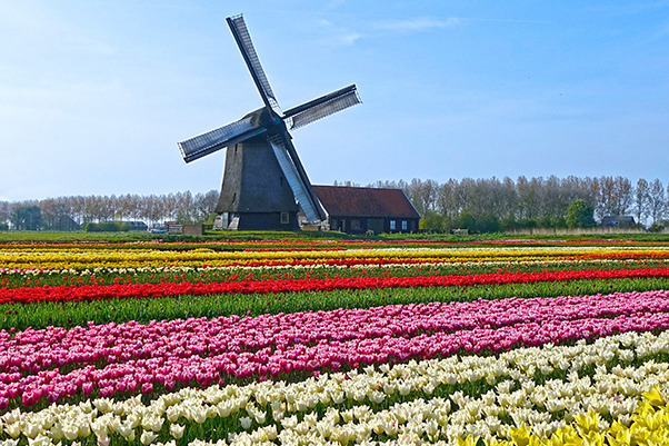 Windmill and tulip fields in Holland