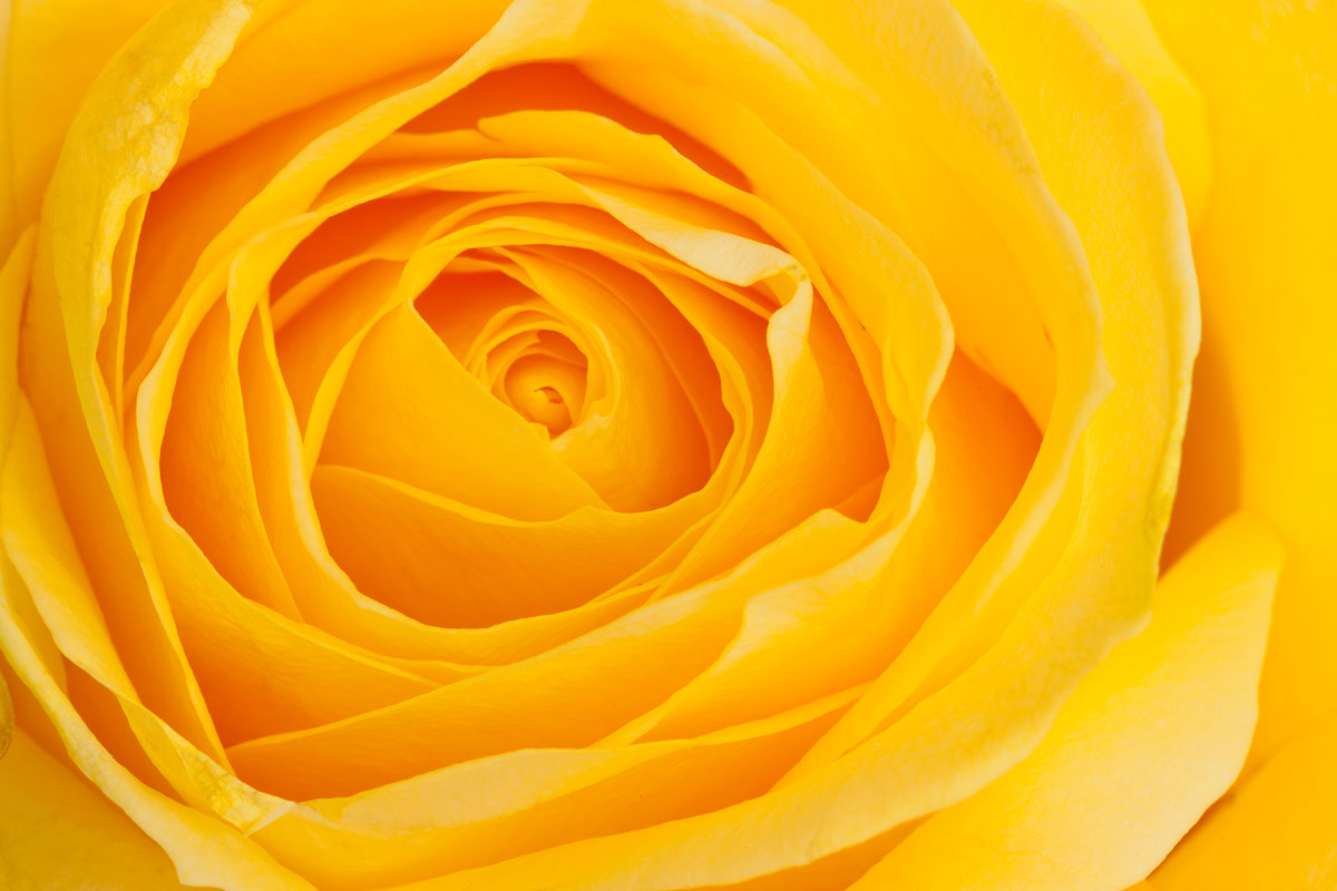 close up of the centre of a yellow rose